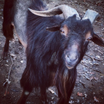 New Moon Capricorn Goat Thunder