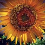 New Moon Cancer Arizona Sunflower
